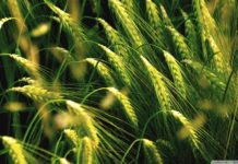 MSP is not the Only issue in Rabi Season