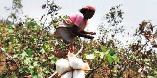 Unapproved Cotton Seeds being sold Illegally in India
