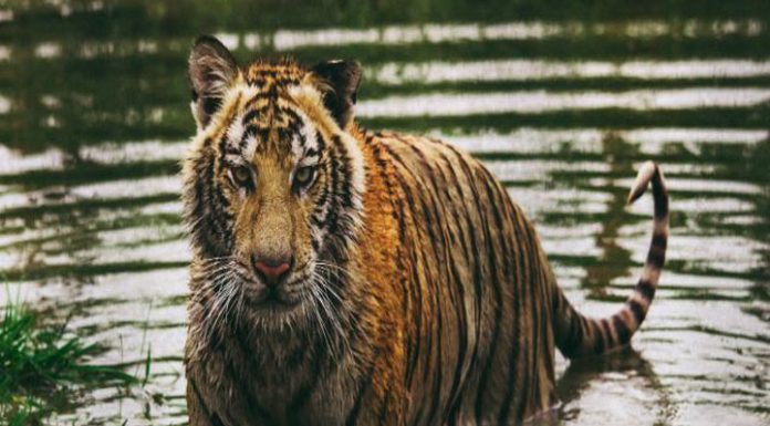 Climate change will wipe out the endangered Bengal tiger